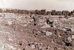 Impianto degli ulivi
